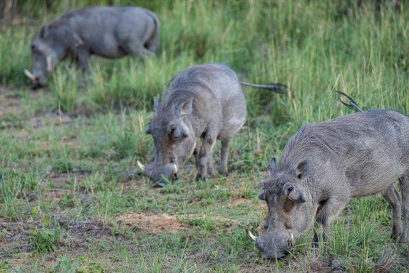 Safari en Sudáfrica con Fujinon XF100-400mmF4.5-5.6 R LM OIS WR